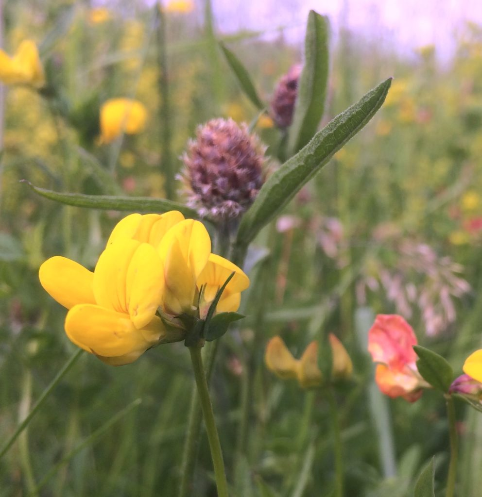 Meadow flowers